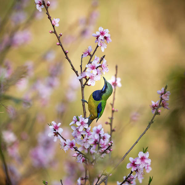 Chinese Photograph - Bird Whispering To The Peach Flower by Jianfeng Wang