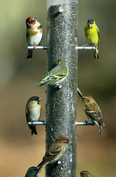 Feeder Photograph - Birds At Bird Feeder by Bob Gibbons/science Photo Library