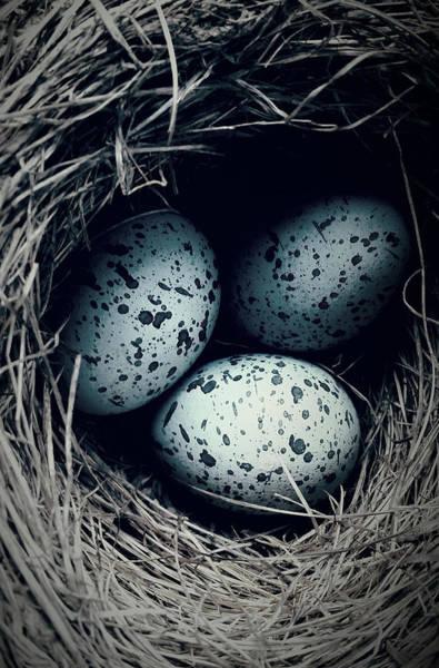 Photograph - Cowbird's Nest? by Jani Freimann