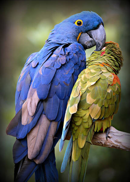 Hyacinth Macaw Photograph - Birds Of A Feather by Stephen Stookey