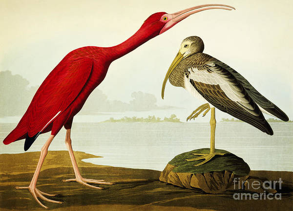 Drawing - Birds Of America by Celestial Images