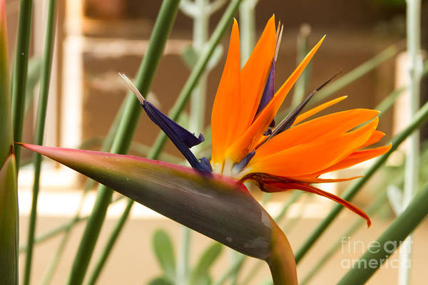 Photograph - Birds Of Paradise by Heather Roper
