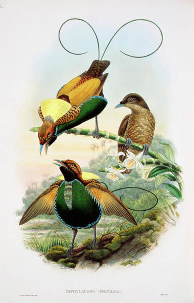 Natural History Photograph - Birds-of-paradise by Natural History Museum, London/science Photo Library