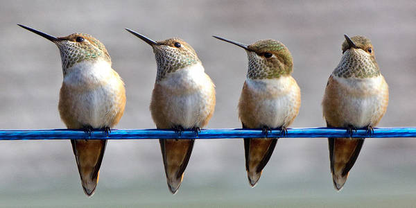 Rufous Photograph - Birds On A Wire by Randy Hall