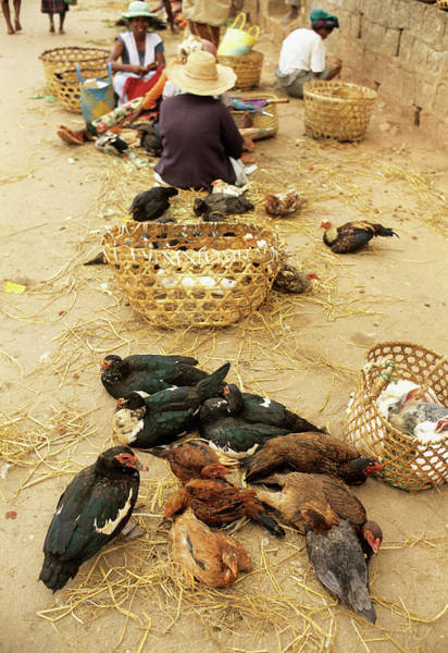 Poultry Photograph - Birds On Sale At A Madagascan Market by Sinclair Stammers/science Photo Library