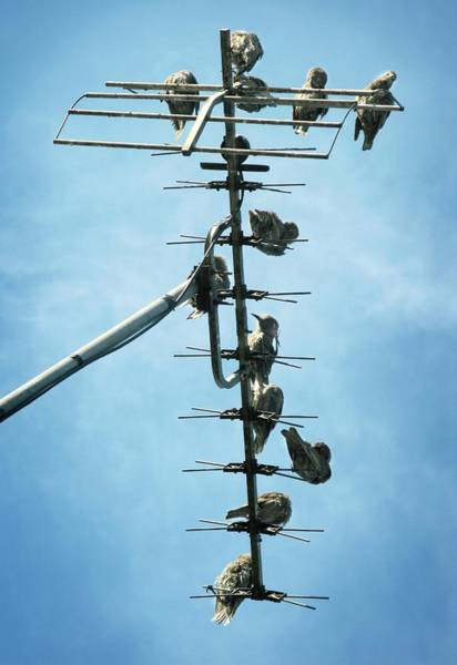 Wall Art - Photograph - Birds Roosting On A Television Aerial by Tim Vernon / Science Photo Library