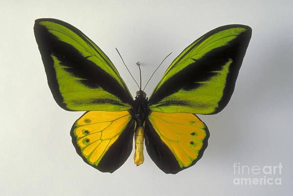 Goliath Photograph - Birdwing Butterfly by Barbara Strnadova