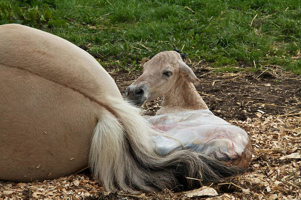 Foal Photograph - Birth by Odd Jeppesen