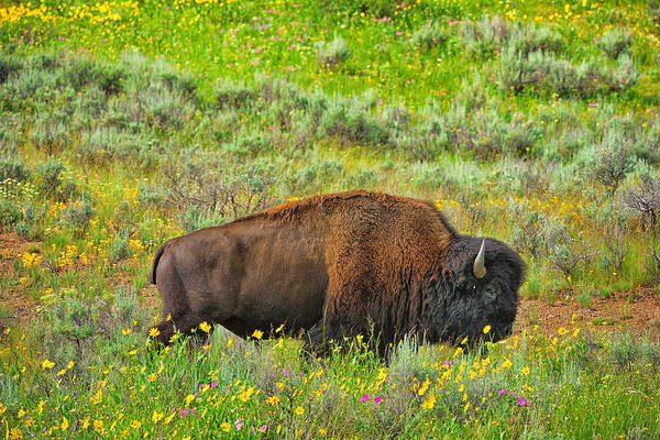 Photograph - Bison Amid Wildflowers by Greg Norrell