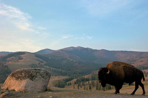Animal Place Photograph - Bison And Mount Washburn In Early by Peter Barritt / Robertharding