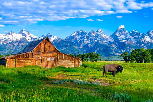 Photograph - Bison At Mormon Row In Tetons by Michael Ash