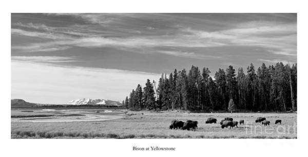 Wall Art - Photograph - Bison At Yellowstone In Black And White by Twenty Two North Photography