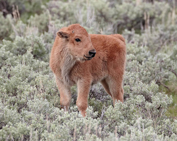 James Brown Photograph - Bison Bison Bison Calf, Yellowstone by James Hager / Robertharding