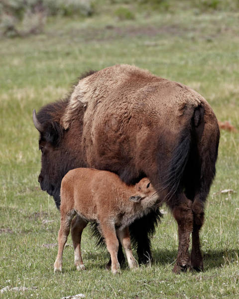 James Brown Photograph - Bison Bison Bison Cow Nursing Her Calf by James Hager / Robertharding