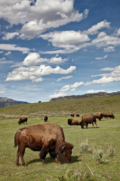 James Brown Photograph - Bison Bison Bison Cows Grazing by James Hager / Robertharding
