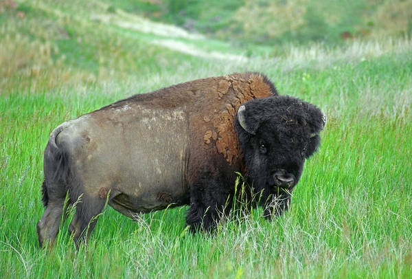 Wall Art - Photograph - Bison (bison Bison by John Barger