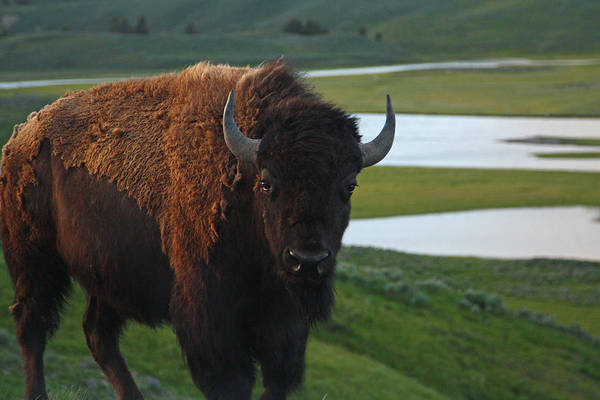Photograph - Bison Bull In Hayden Valley In Yellowstone National Park by Jean Clark