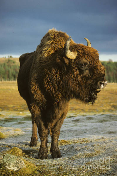 Photograph - Bison Bull by Phil Banks