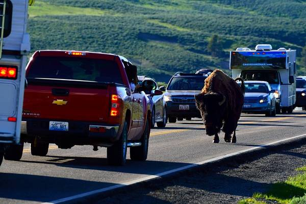 Photograph - Bison Bull Standoff by Walt Sterneman