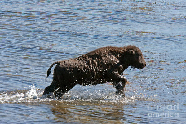 Photograph - Bison Calf Crossing The Yellowstone In Yellowstone National Park by Fred Stearns