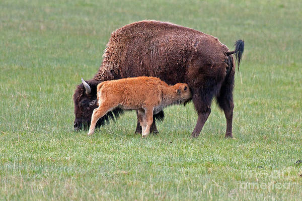Photograph - Bison Calf Having Breakfast In  Yellowstone National Park by Fred Stearns