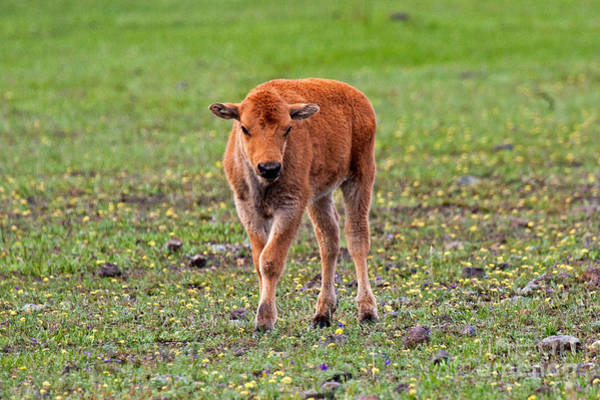 Photograph - Bison Calf In The Flowers Yellowstone National Park by Fred Stearns