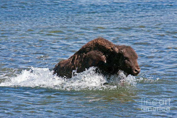 Photograph - Bison Calf Running After Mama In Yellowstone National Park by Fred Stearns