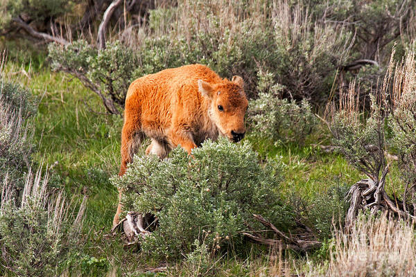 Photograph - Bison Calf Scratching Itch In Yellowstone National Park by Fred Stearns