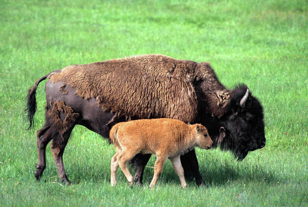 Baby Cow Photograph - Bison Calf Walking Alongside Cow by Animal Images