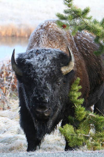 Photograph - Bison by David Andersen