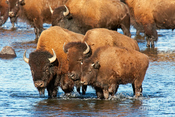 Photograph - Bison Family In The Lamar River In Yellowstone National Park by Fred Stearns
