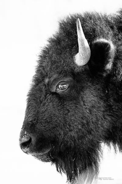 Quebec Photograph - Bison Formal Portrait by Dustin Abbott