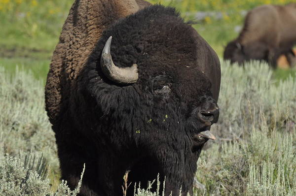 Photograph - Bison by Frank Madia