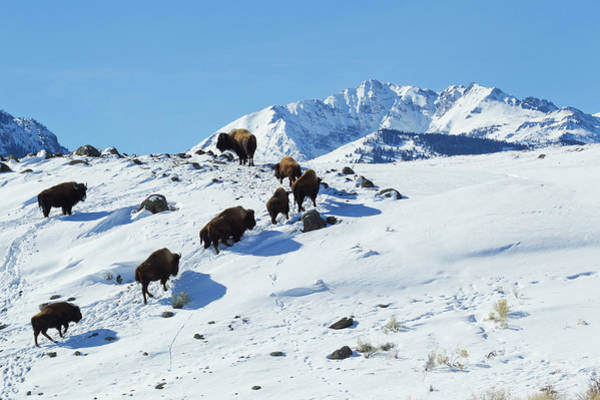 Electric Peak Wall Art - Photograph - Bison Herd, Electric Peak by Ken Archer