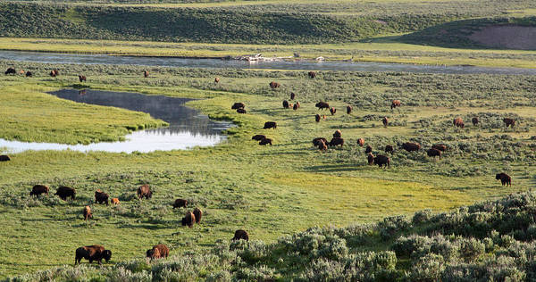 Bison In Hayden Valley In Yellowstone National Park Art Print