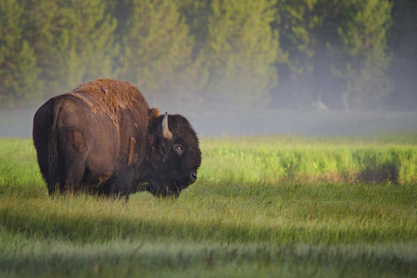 Wild Grass Photograph - Bison In Morning Light by Sandipan Biswas