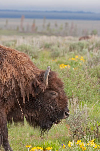 Photograph - Bison In The Flowers Ingrand Teton National Park by Fred Stearns