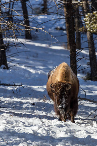 Photograph - Bison In Winter by Michael Chatt
