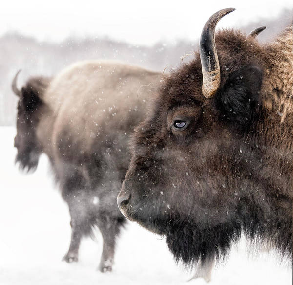 Quebec Photograph - Bison In Winter by Photo By Marianna Armata