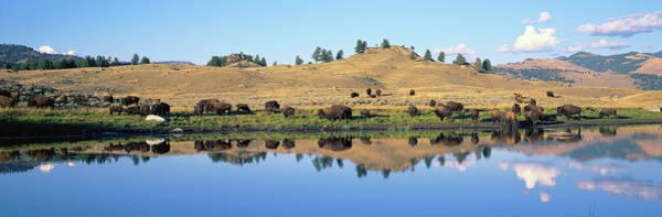 Wall Art - Photograph - Bison, Lamar Valley, Yellowstone by Animal Images