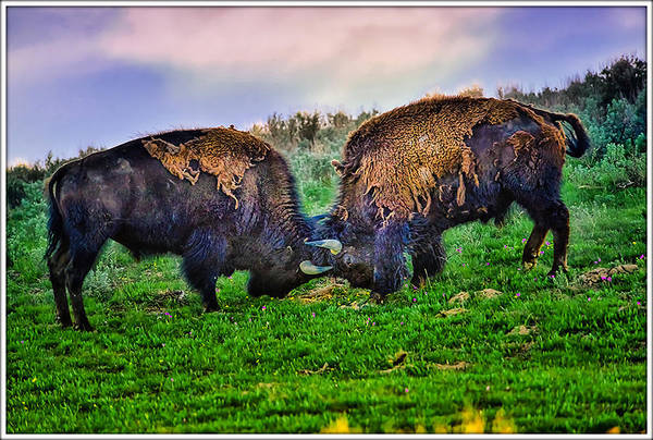 Photograph - Bison Locking Horns Exclusive Limited Edition by Greg Norrell