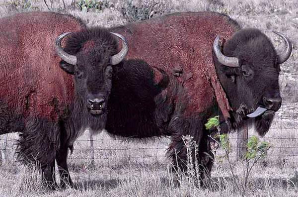 Photograph - Bison by Mae Wertz