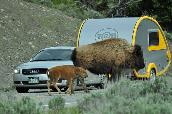 Photograph - Bison Mom And Calf And Teardrop Camper by Bruce Gourley