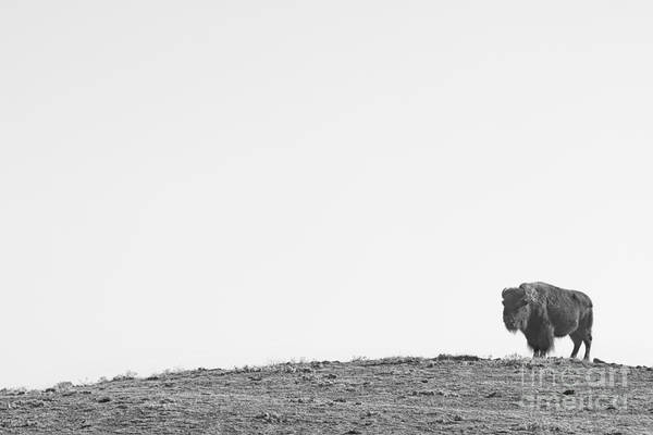 Photograph - Bison On A Hill  Bw by James BO Insogna
