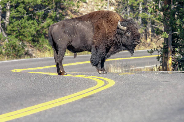 Ruminant Photograph - Bison On Road Yellowstone National Park by Tom Norring