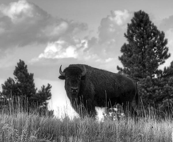 Photograph - Bison On The Hill  by HW Kateley