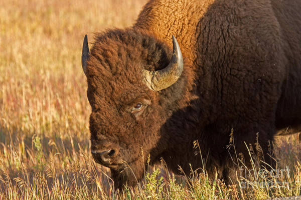 Photograph - Bison Potrait At Teh Elk Ranch In Grand Teton National Park by Fred Stearns
