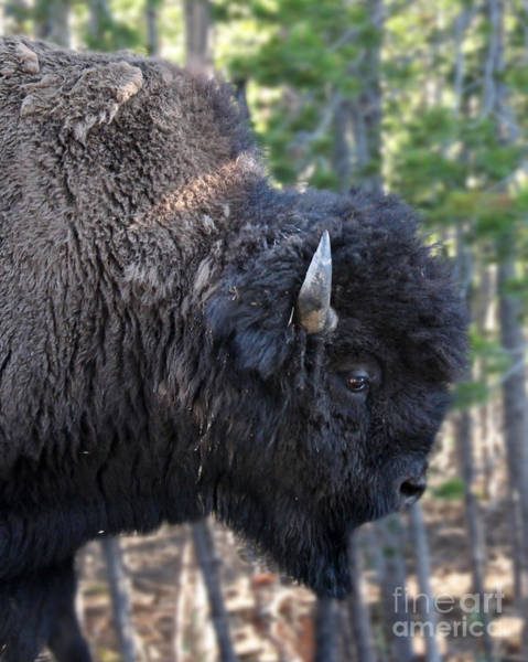Photograph - Bison Profile by Jemmy Archer