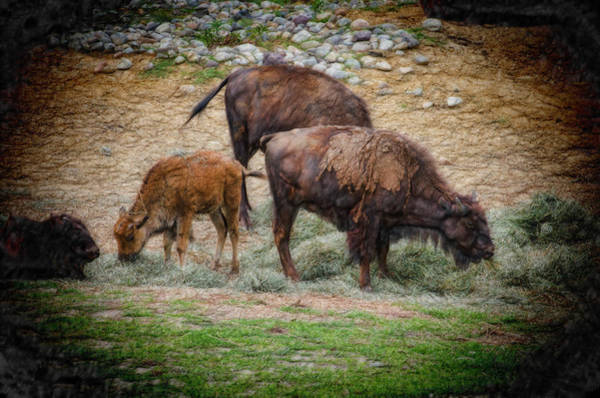 Photograph - Bison Three by Beth Sawickie