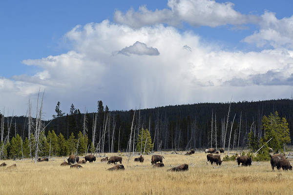 Photograph - Bisonscape by Bruce Gourley